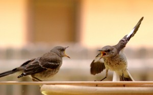 mockingbirds fighting at a bird bath