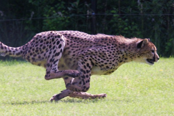 how to write a book fast cheetah